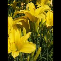 Daylily Erin Prarie (5 plants per pkg - Ships Oct thru June)