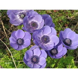 Anemone bulbs anemone blue poppy terra ceia farms anemone coronaria blue poppy 25 bulbs per pkg ships oct thru june mightylinksfo