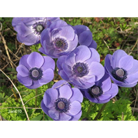 Anemone coronaria Blue Poppy (25 bulbs per pkg - Ships Oct thru June)