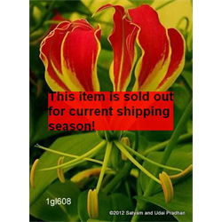 Gloriosa plantii (3 bulbs per pkg - Ships March thru June)
