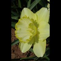 Daffodil Lg. Cup St Patrick's Day (10 bulbs per pkg - Ships Oct thru Jan)