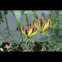 Gloriosa carsonii (3 bulbs per pkg - Ships March thru June)