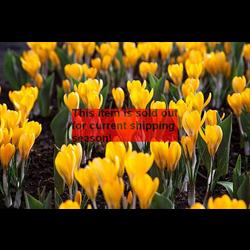 *SOLD OUT* Crocus vernus Yellow Mammoth (25 bulbs per pkg - Ships Oct thru Jan)