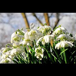 Galanthus nivalis 'Flore Pleno' (10 bulbs per pkg - Ships Oct thru Jan)