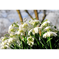 Galanthus nivalis 'Flore Pleno' (10 bulbs per pkg - Ships Oct thru Jan)