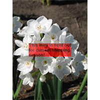 Narcissus Paperwhite Inbal (10 bulbs per pkg - Ships Oct thru Jan)