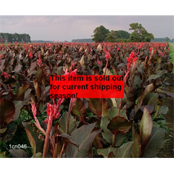 *SOLD OUT* Canna Giant Red King Humbert (5 bulbs per pkg - Ships March thru Ju