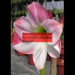 Amaryllis Jumbo Potted Bulb Kit - Apple Blossom (ships Nov thru Jan)
