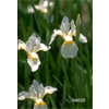Additional images for Iris sibirica 'Snow Queen' (5 plants per pkg - Ships Oct thru June)