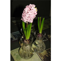 Forcing Vase w/bulbs