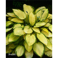 Hosta 'Gold Standard'  (5 plants per pkg - Ships Oct thru June)