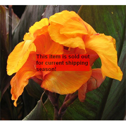 *SOLD OUT* Canna Giant Wyoming (5 bulbs per pkg - Ships March thru June)