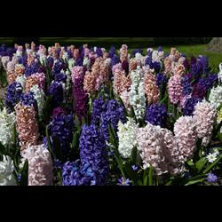Hyacinth Mixture (5 bulbs per pkg - Ships Oct thru Jan)