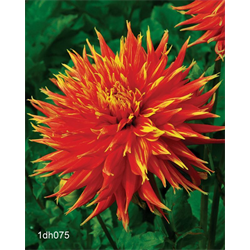 Dahlia Show and Tell (3 plants per pkg - Ships March thru June)