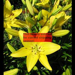 *SOLD OUT* Lily bulk Asiatic Yellow (½ BU - Ships Oct thru June)