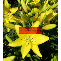 *SOLD OUT* Lily Asiatic Yellow  (5 bulbs per pkg - Ships Oct thru June)