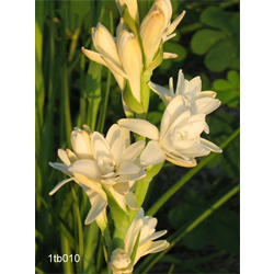 Tuberose Double 'The Pearl' (5 bulbs per pkg - Ships March thru June)