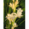 Additional images for Tuberose Double 'The Pearl' (5 bulbs per pkg - Ships March thru June)
