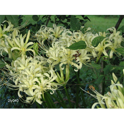 Lycoris albiflora (3 bulbs per pkg - Ships Oct thru Jan)