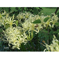 Lycoris albiflora (3 bulbs per pkg - Ships Oct thru Jan)