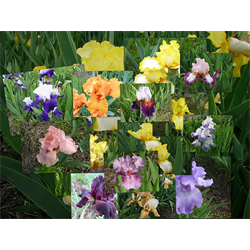 Bearded Iris bulk Mixed (½ bushel - Ships Oct thru Jan)
