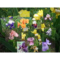 Bearded Iris Mixture (5 plants per pkg - Ships Oct thru Jan)