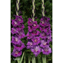 *SOLD OUT* Gladiolus Purple (25 bulbs per pkg - Ships March thru June)
