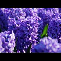 Hyacinth Blue Jacket (5 bulbs per pkg - Ships Oct thru Jan)