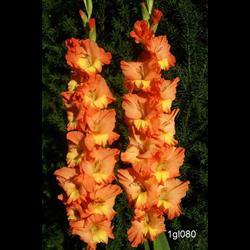 Gladiolus Orange (25 bulbs per pkg - Ships March thru June)