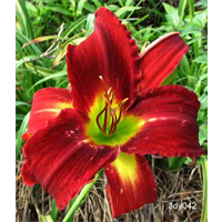 Daylily Breathless Beauty (5 plants per pkg - Ships Oct thru June)