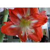 Additional images for Amaryllis Minerva (1 bulb per pkg - ships Oct thru Jan)