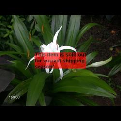 *SOLD OUT* Hymenocallis Tropical Giant (3 bulbs per pkg - Ships March thru June)
