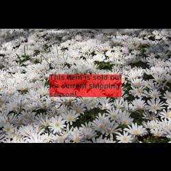 *SOLD OUT* Anemone blanda White Splendour (25 bulbs/pkg - Ships Oct thru June)