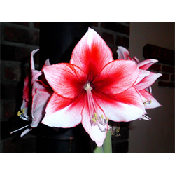Amaryllis Jumbo Potted Bulb Kit - Charisma (ships Nov thru Jan)