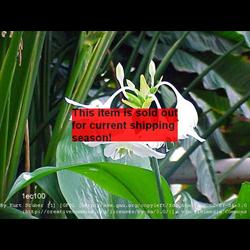 *SOLD OUT* Eucharis x grandiflora (5 bulbs per pkg - Ships March thru June)