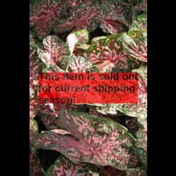 *SOLD OUT* Caladium Florida Elise (5 bulbs per pkg - Ships March thru June)