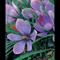 Crocus sativus - Fall Saffron Crocus (25 bulbs per pkg - Ships Oct thru Jan)