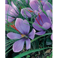 Crocus sativus - Fall Saffron Crocus (25 bulbs per pkg - Ships Oct thru Jan)