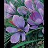 Additional images for Crocus sativus - Fall Saffron Crocus (25 bulbs per pkg - Ships Oct thru Jan)