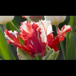 Tulip Parrot Estelle Rijnveldt (10 bulbs per pkg - Ships Oct thru Jan)