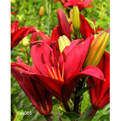 Lily Asiatic Red (5 bulbs per pkg - Ships Oct thru June)