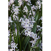 Additional images for Chionodoxa Pink Giant (25 bulbs per pkg - Ships Oct thru Jan)