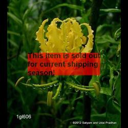 *SOLD OUT* Gloriosa lutea (3 bulbs per pkg - Ships March thru June)
