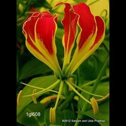 Gloriosa plantii (3 bulbs per pkg - Ships March thru June)