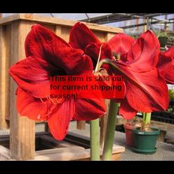 Amaryllis Jumbo Potted Bulb Kit - Red Lion (ships Nov thru Jan)