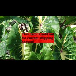 Colocasia esculenta White Lava® (3 bulbs per pkg - Ships March thru June)