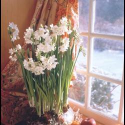 Narcissus Paperwhite Ziva (10 bulbs per pkg - Ships Oct thru Jan)