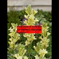 *SOLD OUT* Tuberose Single 'Yellow Baby' (5 bulbs per pkg - Ships March thru Ju