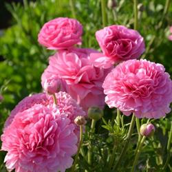 Ranunculus Pink (10 bulbs per pkg - Ships Oct thru June)