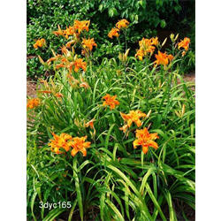 Daylily clump Kwanso (Ships Oct thru June)